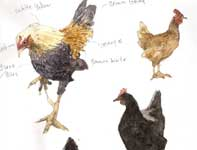 Painting by Eddie Flotte: Sketches of Hens and a Rooster