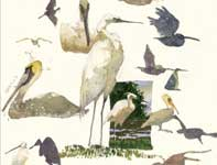 Painting by Eddie Flotte: Sketches of Pelicans and Egrets